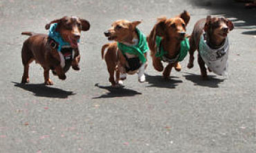 4 Dachshunds with bandannas on, racing towards the finish line