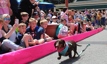 Dachshund racing toward the finish line as guests cheer on