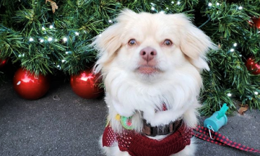 a small fluffy white dog sitting in front of a christmas tree
